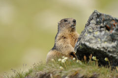 Marmot (Marmota). Marmots (Marmota) typically live in burrows and hibernate there through the winter. Most marmots are highly social and use loud whistles to Stock Photos