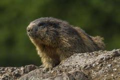 Marmot (Marmota monax) Stock Photography