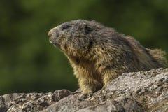 Marmot (Marmota monax) Stock Images