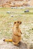 Marmot(Marmota) in Pangong lake area, Leh Ladakh, India. Marmot in Pangong lake area, Leh Ladakh, India Stock Photo