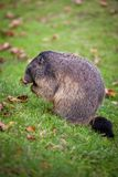 Marmot (Marmotamarmota) Arkivbild