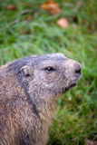 Marmot (Marmotamarmota) Arkivfoton