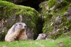 Marmot (Marmotamarmota) Arkivbilder