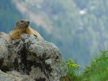 marmot fotografie stock