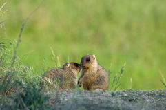 Marmot in meadow Royalty Free Stock Photo