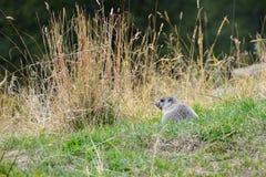 Marmot in the meadow, Aosta Valley, Italy Stock Photos