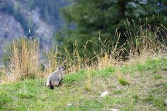 Marmot in the meadow, Aosta Valley, Italy Royalty Free Stock Photography