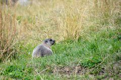 Marmot in the meadow, Aosta Valley, Italy Stock Images