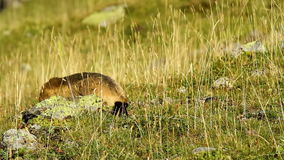 Marmot. In a meadow in close-up stock video