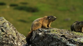 Marmot. In a meadow in close-up stock footage