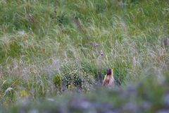 Marmot on meadow in grass and flowers. Marmot on spring meadow in grass and flowers Stock Photography
