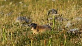 Marmot stock video footage
