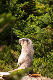 Marmot in a meadow Royalty Free Stock Photography
