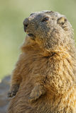 Marmot on a medow Stock Photo