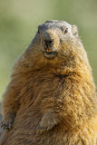 Marmot on a medow Royalty Free Stock Photography