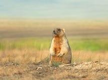 Marmot - meester van de steppen. Stock Foto