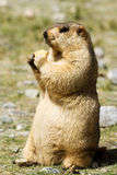 Marmot met bisquit op de weide Stock Foto's