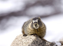 Marmot in the Moment Royalty Free Stock Photos