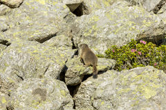 Marmot in motion Royalty Free Stock Images