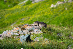 Marmot on a mound of stones Royalty Free Stock Photo