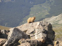 Marmot on Mount Belford Stock Photo