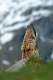 Marmot in the mountain. Cute sit up on its hind legs animal Marmot, Marmota marmota, sitting in the grass. Marmot in the nature ha Royalty Free Stock Photo