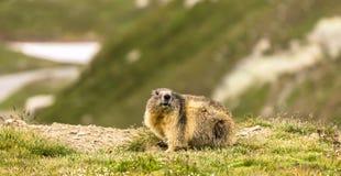 Marmot in mountain Royalty Free Stock Image