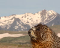Marmot With Mountain View. A Yellow-bellied Marmot with a majestic mountain view outside of it's den in the Rocky Mountains of Colorado Royalty Free Stock Photography