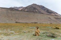 Marmot with mountain view Stock Image