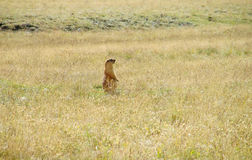Marmot in the mountains on green grass. And gray stones. Marmota marmota large ground squirrels. Alpine marmot eating grass Royalty Free Stock Images