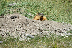 Marmot in the mountains stock photography