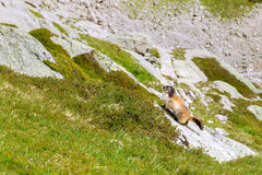 Marmot in the mountains Royalty Free Stock Image
