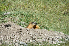 Marmot in the mountains on stones Stock Photo