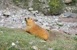 Marmot in the mountains on stones Stock Photo