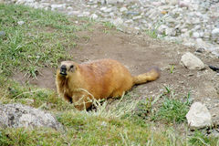 Marmot in the mountains on stones Stock Images
