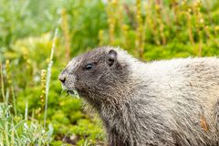 marmot with mouth full of leave from meadow stock photography
