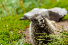 marmot with mouth open eating grass in field royalty free stock photography