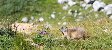Marmot moving quickly on the ground Stock Image