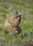 Marmot munching Royalty Free Stock Photo