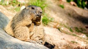 Marmot. Nature photo: smiling chuck keeps an eye on his environment royalty free stock images