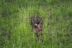 Marmot near it hole. Marmot in the wildlife. It leave his home and sitting among the green grass Royalty Free Stock Image
