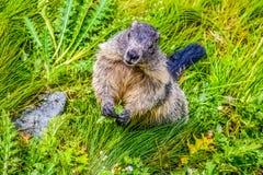 Marmot nieuwsgierig letten op stock foto