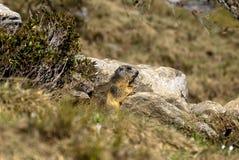 Marmot onder de stenen Stock Afbeeldingen