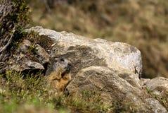 Marmot onder de stenen Stock Afbeelding
