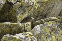 Marmot onder rotsen wordt verborgen die Stock Foto's