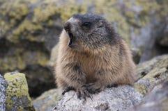 Marmot op de rotsen Tatry Stock Fotografie
