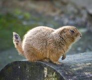 Marmot op rond hout Royalty-vrije Stock Foto