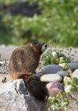 Marmot op rotsen Stock Afbeelding