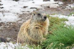 Marmot op sneeuwland Stock Foto