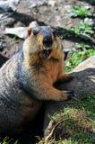 Marmot op steen Stock Foto's